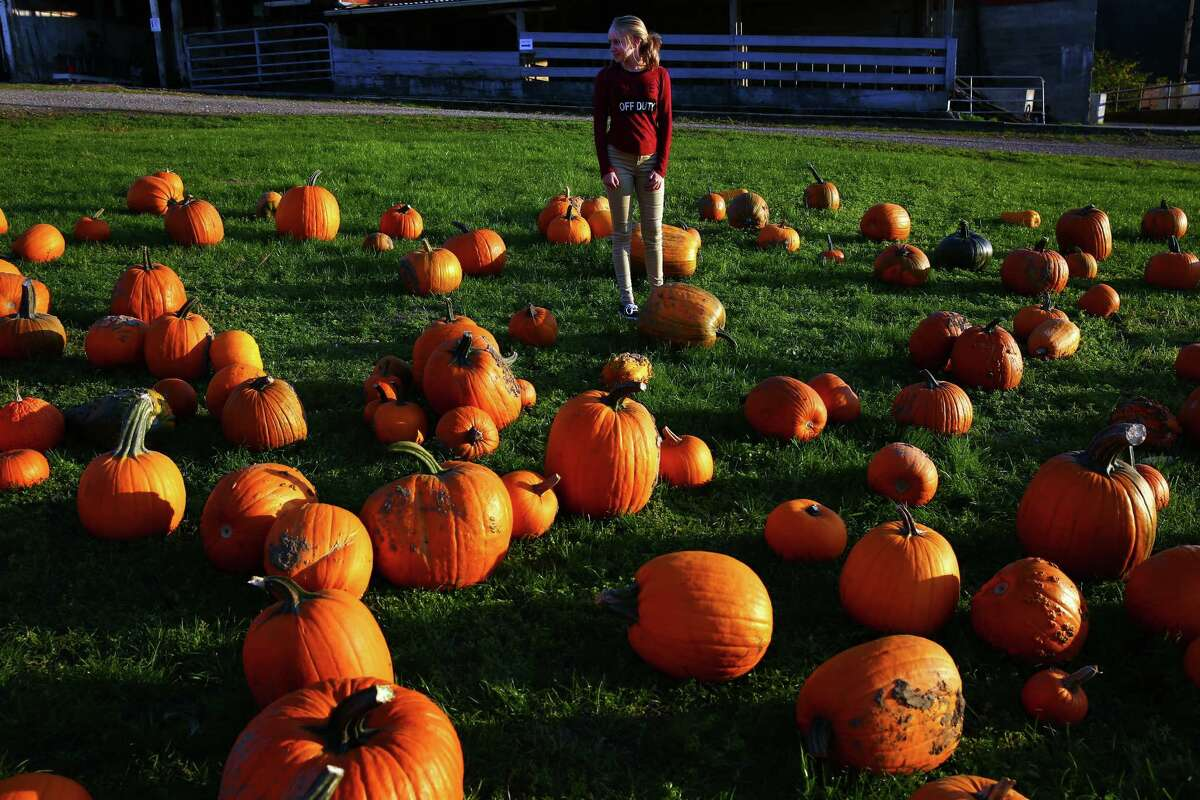 Keep clicking to see photos of fall colors around Washington... Sabrina Bergman, 14, of Stanwood, searches for a pumpkin at Bob's Corn and Pumpkin Farm in Snohomish. Photographed on October 1, 2015.