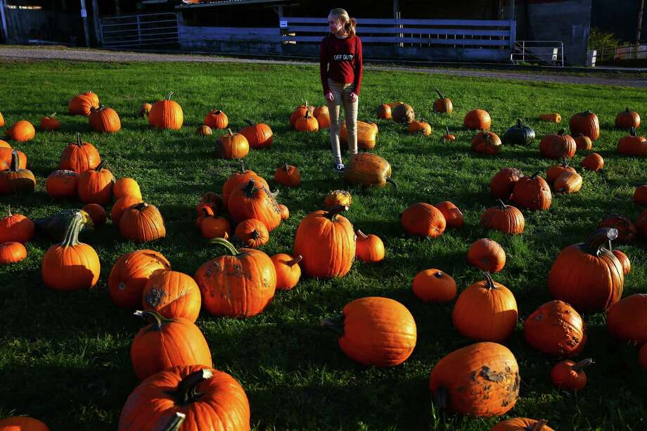 Sabrina Bergman, 14, of Stanwood, searches for a pumpkin at Bob's Corn and Pumpkin Farm in Snohomish. Photographed on October 1, 2015. Photo: GENNA MARTIN, SEATTLEPI.COM / SEATTLEPI.COM