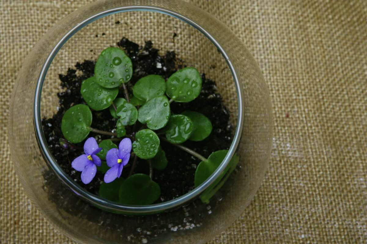 African Violet for a story on terrariums by Kathy Huber. (Nick de la Torre/Chronicle)