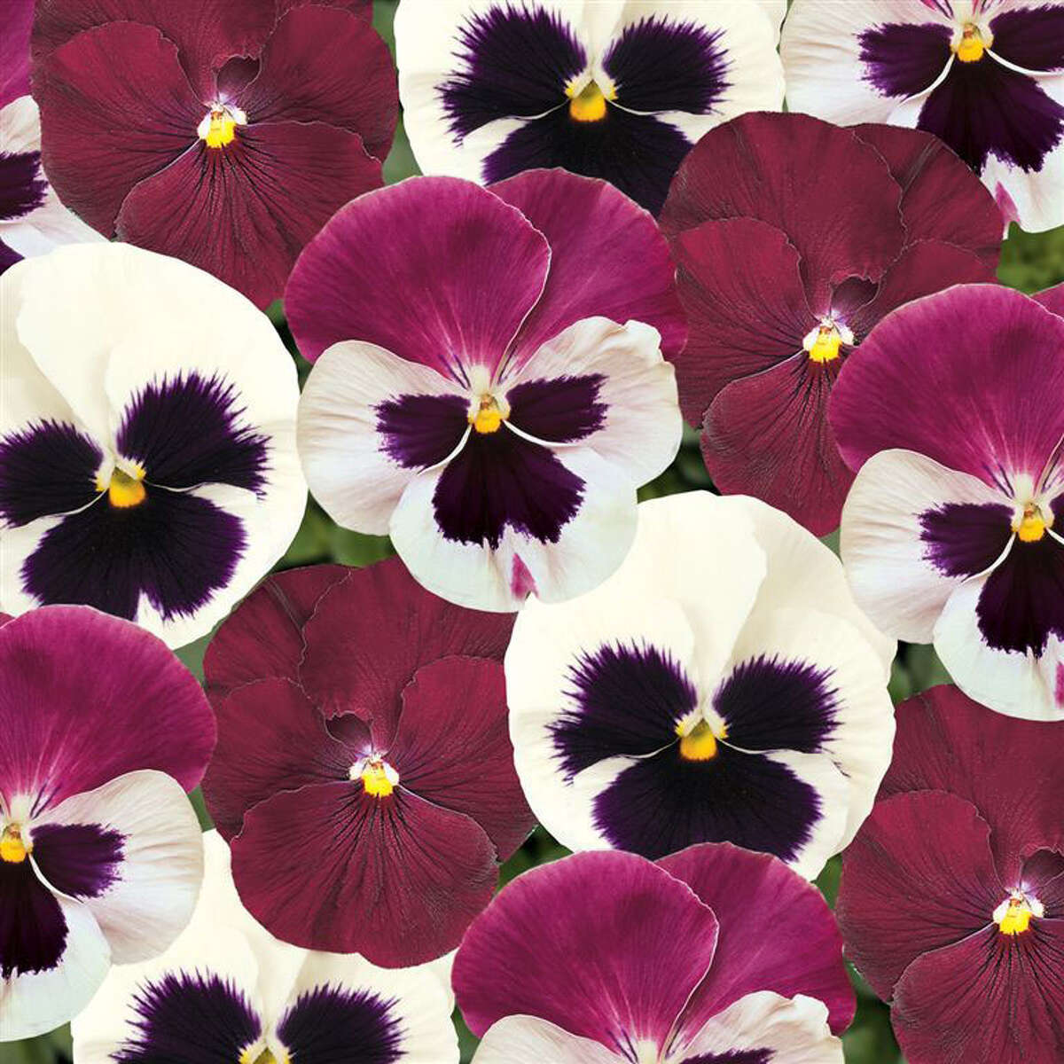 October is the month to plant cool season annuals such as pansies, which work in containers as well as in the soil.