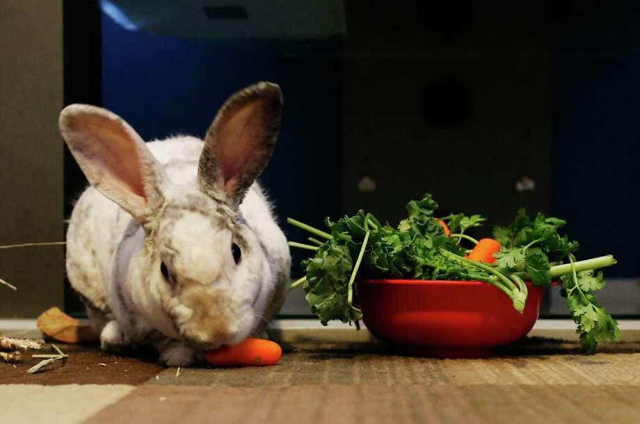 A Mini Rex rabbit named Anet eats a carrot from Joe Guerra who has two other pet rabbits. Photo: Kin Man Hui /San Antonio Express-News / ©2015 San Antonio Express-News