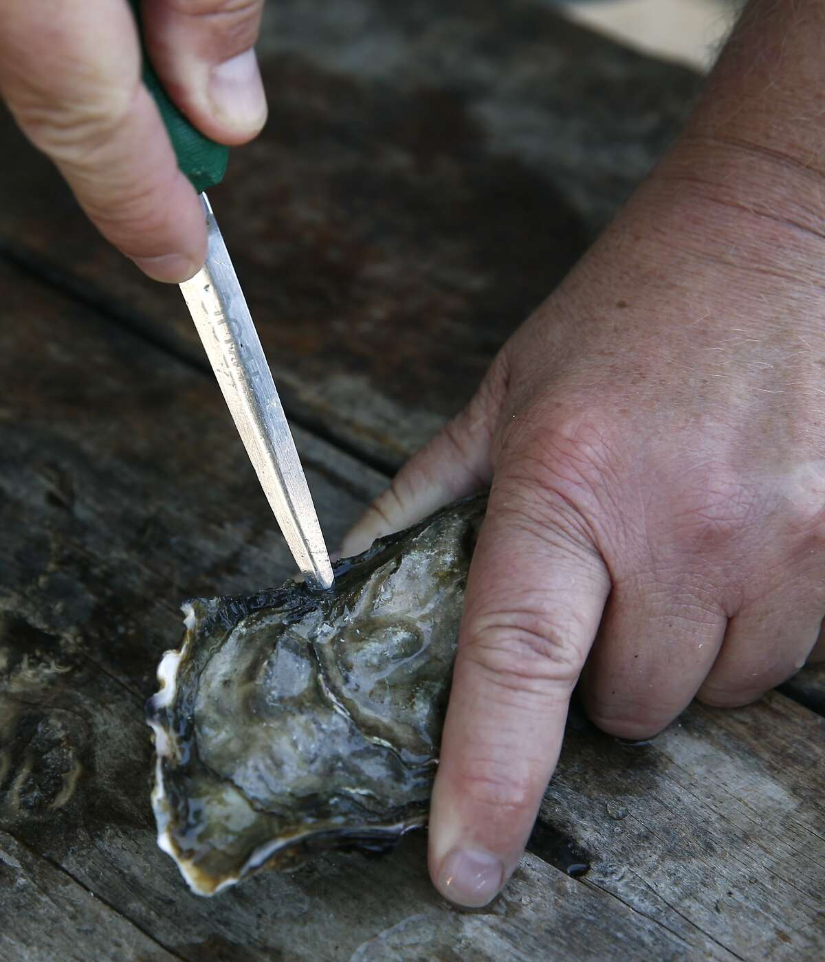 Tomales Bay Oyster Company manager Martin Seiler cracks open a Pacific oyster in Marshall, Calif. on Friday, Oct. 2, 2015. The popular spot on the eastern shore of Tomales Bay is being to forced to close down its picnic areas by Marin County citing a concern for parking and traffic issues along Highway 1.