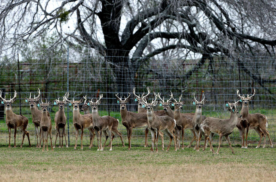 Younger bucks herd together in a pen at a deer breeding operation in Karnes County on February 14, 2015.  Deer breeders across the state are alarmed by the discovery of Chronic Wasting Disease in captive-bred deer in Medina and Lavaca Counties. Two deer breeders have filed suit against Texas Parks and Wildlife Department officials over emergency rules adopted in response to the discovery of white-tailed deer with chonic wasting disease. Photo: Tom Reel, Staff / San Antonio Express-News / San Antonio Express-News