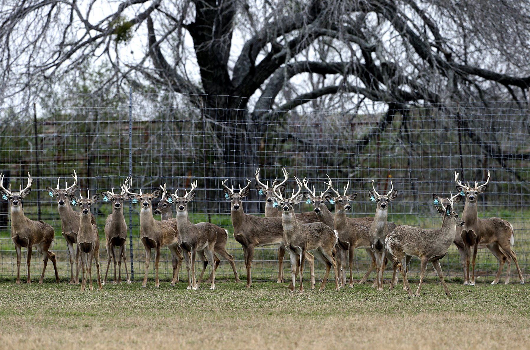 Remaining 177 Deer In Medina County Ranch Euthanized As