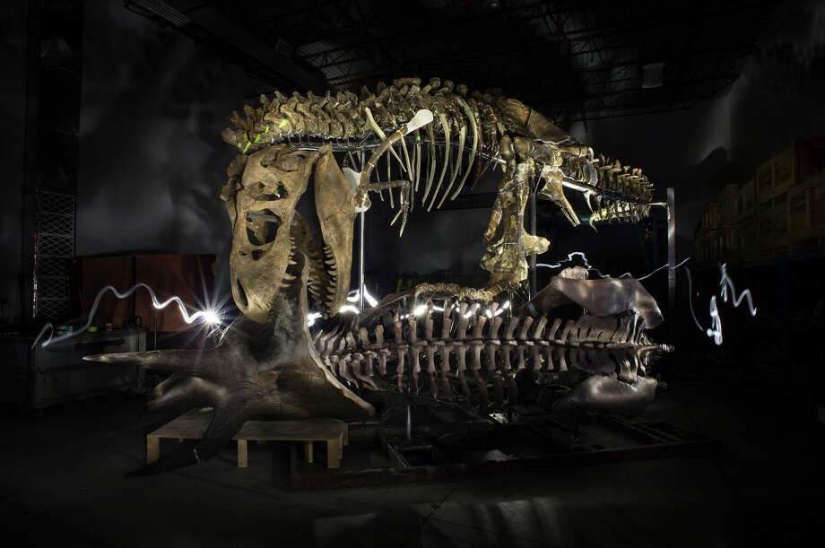Scientists still disagree about the exact cause of the mass extinction of dinosaurs such as this 12-foot T. rex 66 million years ago.  Photo: KAHN, STF / THE WASHINGTON POST