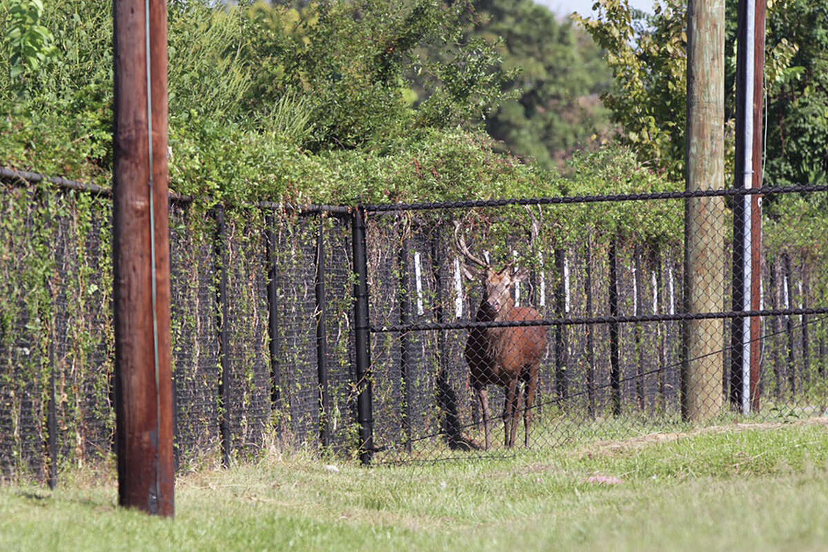 A red stag is trapped on the grounds of Waltrip High School, Sunday Oct. 4, in Houston.