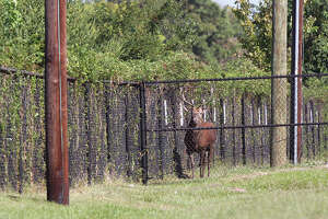Exotic stag caught at Houston high school - Photo