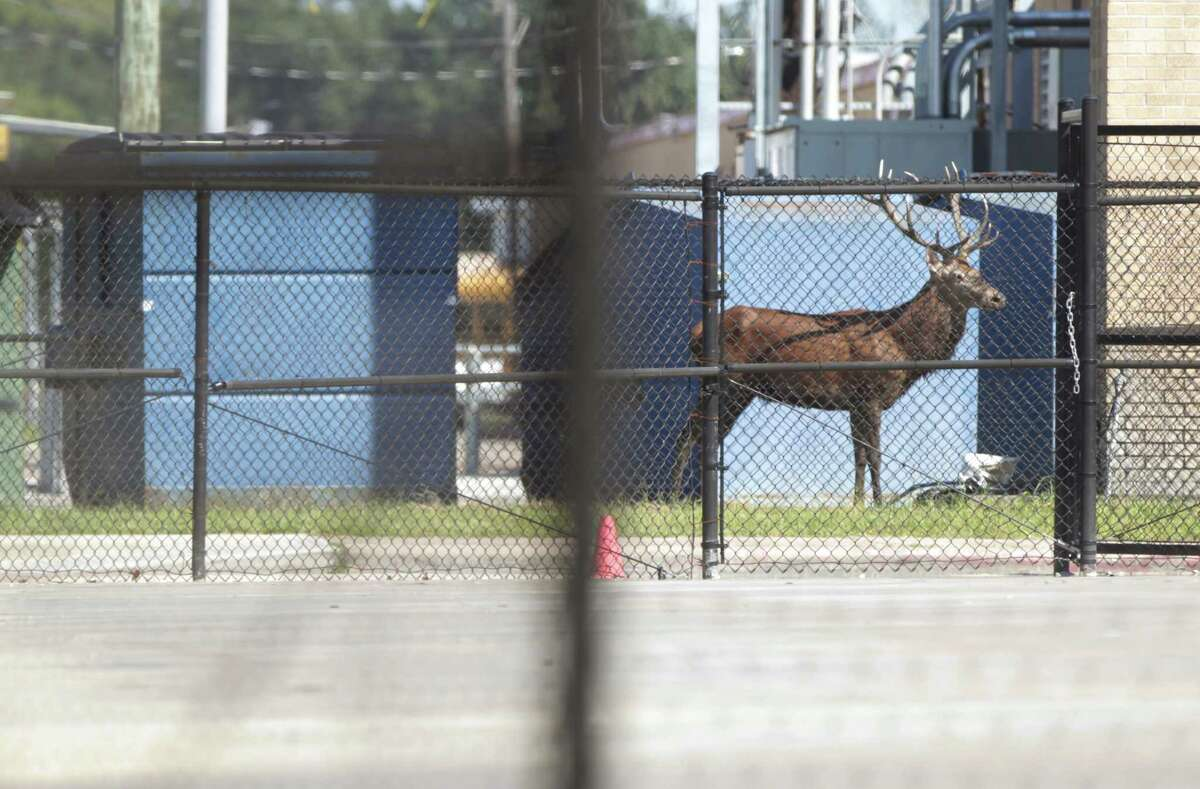 """An exotic red stag wanders the grounds of Waltrip High School while Harris County Sheriff's deputies and wildlife officers attempt to tranquilize it, Sunday. Dave Mitchell, the school's principal, said: """"It's actually the safest place for him to be."""""""