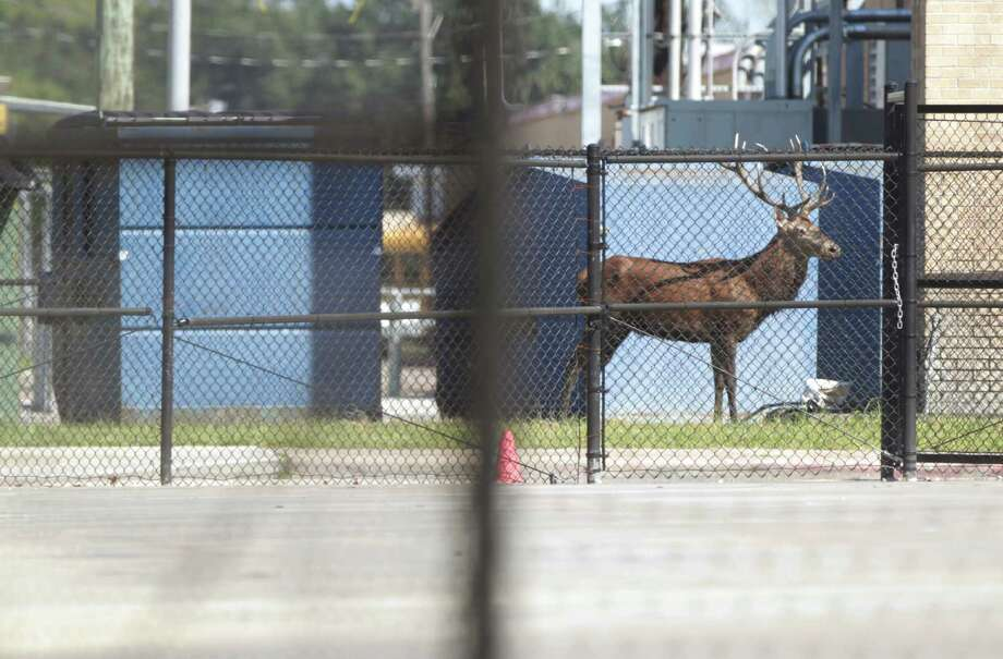 "An exotic red stag wanders the grounds of Waltrip High School while Harris County Sheriff's deputies and wildlife officers attempt to tranquilize it, Sunday. Dave Mitchell, the school's principal, said: ""It's actually the safest place for him to be."" Photo: Jon Shapley, Staff / © 2015  Houston Chronicle"