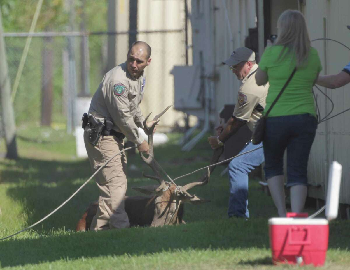 Billy Lucio, a game warden, and an animal control officer move a tranquilized exotic red stag towards a waiting trailer Sunday at Waltrip High School.