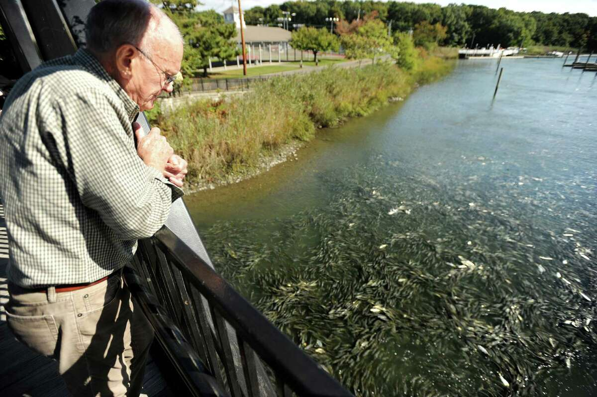 Henry Shove, of Milford, looks down from the Hotchkiss Bridge as thousands of menhaden fish, also known as bunker, school at the head of Milford Harbor on Monday.