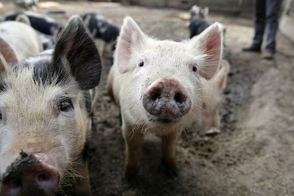 A months-old piglet at Devil's Gulch Ranch in Nicasio, California, on Tuesday, Oct. 6, 2015. At this ranch, antibiotics are not fed to pigs unless absolutely necessary.