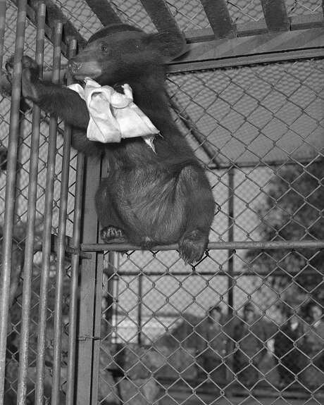 Pokey the Himalayan brown bear is back in his pen at the Fleishhacker Zoo on Jan. 9, 1949. Photo: Duke Downey, The Chronicle