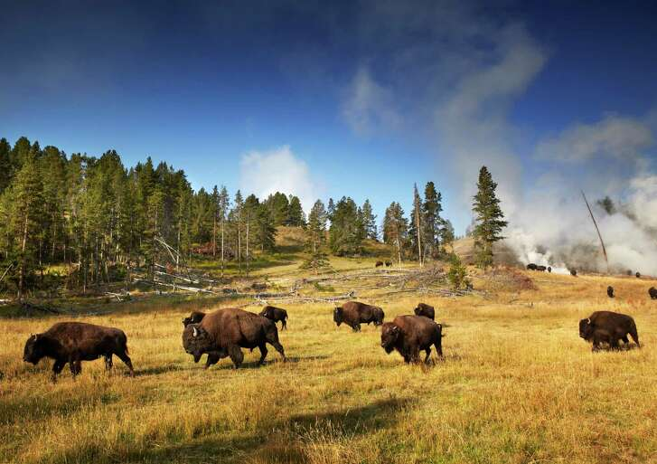 Herd of bison near steaming Mud Volcano in Hayden Valley, Yellowstone National Park