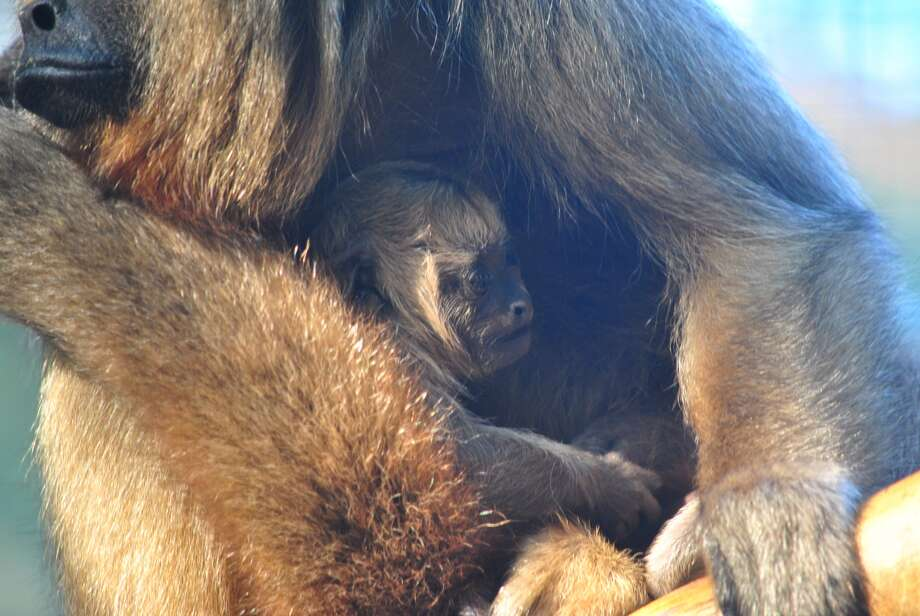 The San Antonio Zoo welcomes a newborn howler monkey on Sept. 30.