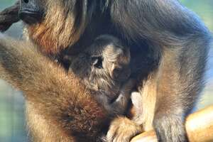 San Antonio Zoo welcomes newborn howler monkey to Amazonia section - Photo