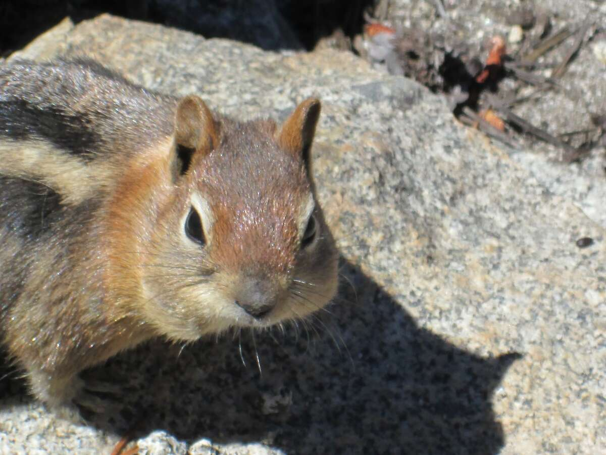 As fall takes hold in Yosemite National Park, ground squirrels have been exceedingly active to find goodies and store them for winter -- in the high country above 10,000 feet, marmots have already started to hibernate