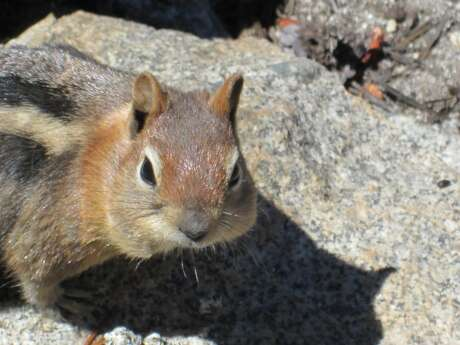 As fall takes hold in Yosemite National Park, ground squirrels have been exceedingly active to find goodies and store them for winter -- in the high country above 10,000 feet, marmots have already started to hibernate Photo: Tom Stienstra, The Chronicle