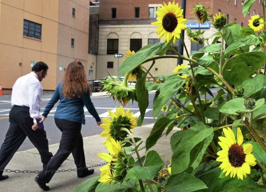 Sunflowers in bloom along Pine Street Wednesday, Oct. 7, 2015, in Albany, NY.(John Carl D'Annibale / Times Union) Photo: John Carl D'Annibale