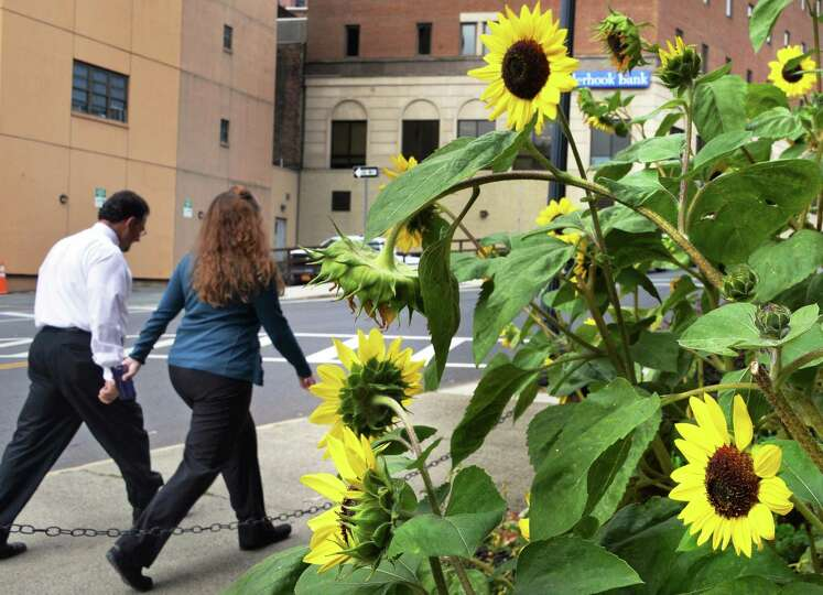 Sunflowers in bloom along Pine Street Wednesday, Oct. 7, 2015, in Albany, NY.(John Carl D'Annibale /