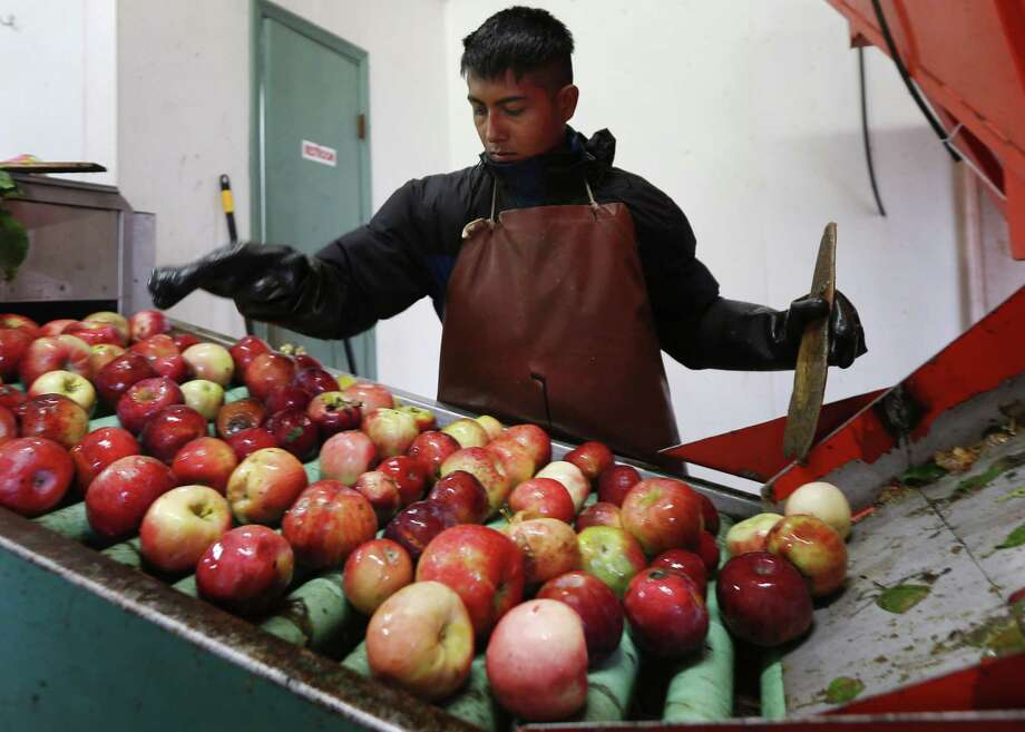 In this Oct. 14, 2014 photo, Perry Loyola sorts apples before they are pressed for juice and used for cider at Samascott Orchards in Kinderhook, N.Y. Apple growers are tapping into the hard cider revenue stream after sales of hard cider in the U.S. have tripled over the last three years to $1.3 billion in 2013. (AP Photo/Mike Groll)  ORG XMIT: MER2014101600404837 Photo: Mike Groll / AP