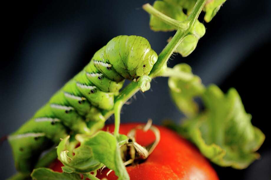 Tomato hornworms, caterpillars the size of a human finger, are among the pests gardeners battle for fall crops. Photo: Getty Images / Flickr Open