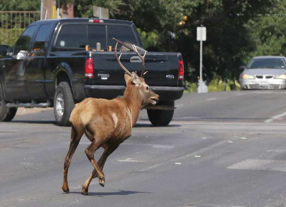 An Elk runs through the streets of Waco, Texas, Wednesday, Oct. 7, 2015, while fleeing local law enforcement agencies. The bull elk spent the morning running from officials along railroad tracks that run through the center of Waco before it was finally darted and tranquilized and released in a nearby county. (Rod Aydelotte/Waco Tribune Herald via AP) Photo: Rod Aydelotte, MBO / Waco Tribune Herald