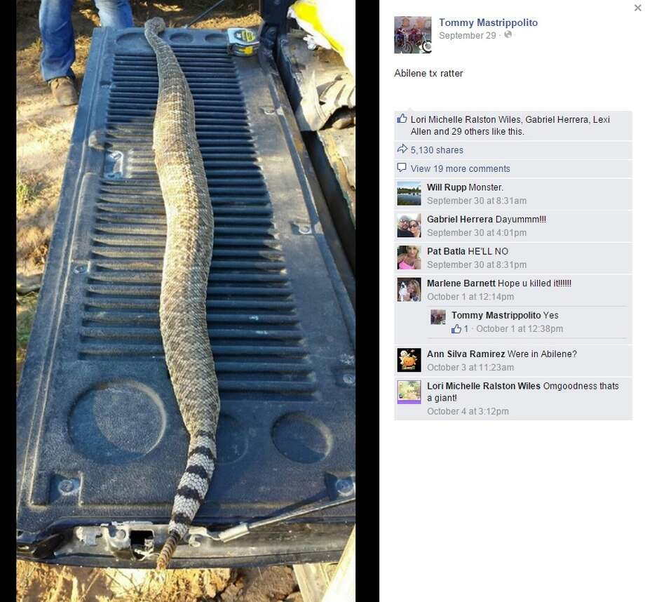 Facebook user Tommy Mastrippolito uploaded this photo of a ginormous rattle snake caught in Abilene on Sept. 29, 2015. According to the photo's comments, the snake had eaten three rats before it was killed. Photo: Facebook Screenshots