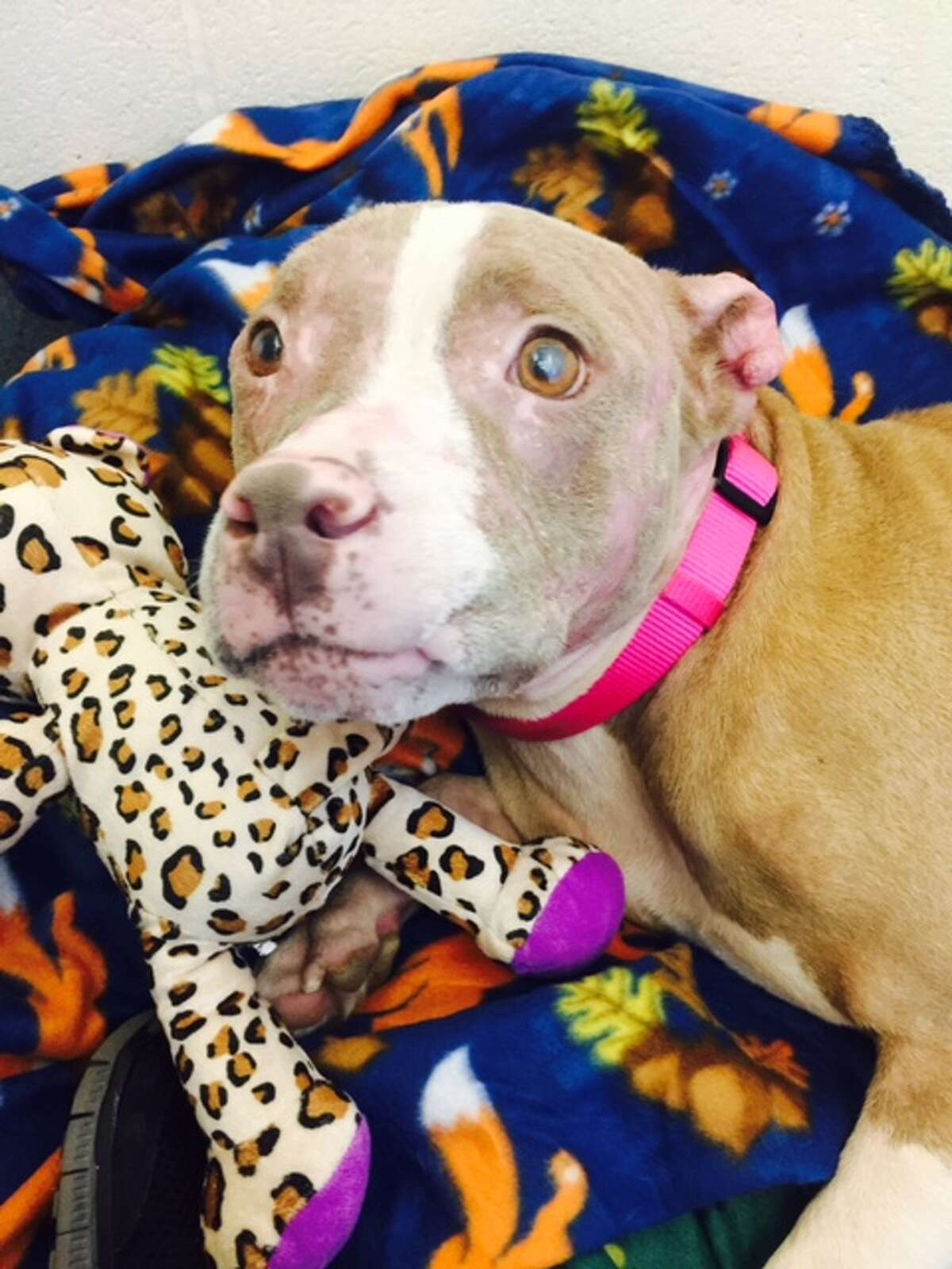 Rosie the pit bull has spent two months recovering from horrific chemical burns.