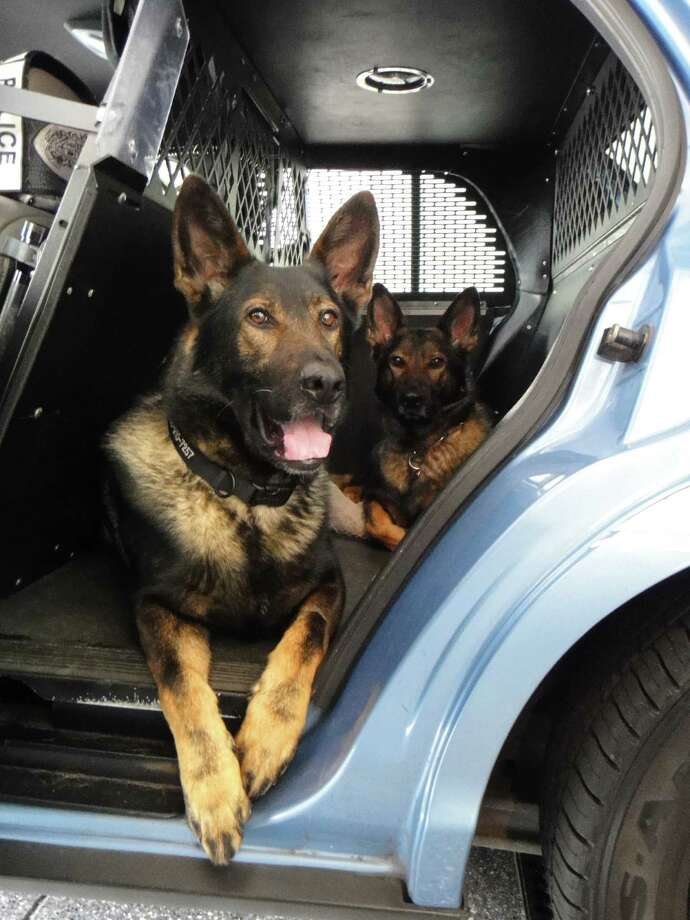 Police dog Jaeger (foreground, with sister Ziva on the right) found a suspected robber in Greenwood Wednesday night. Photo: Courtesy Seattle Police Department / Seattle Police Officer Mark Wong