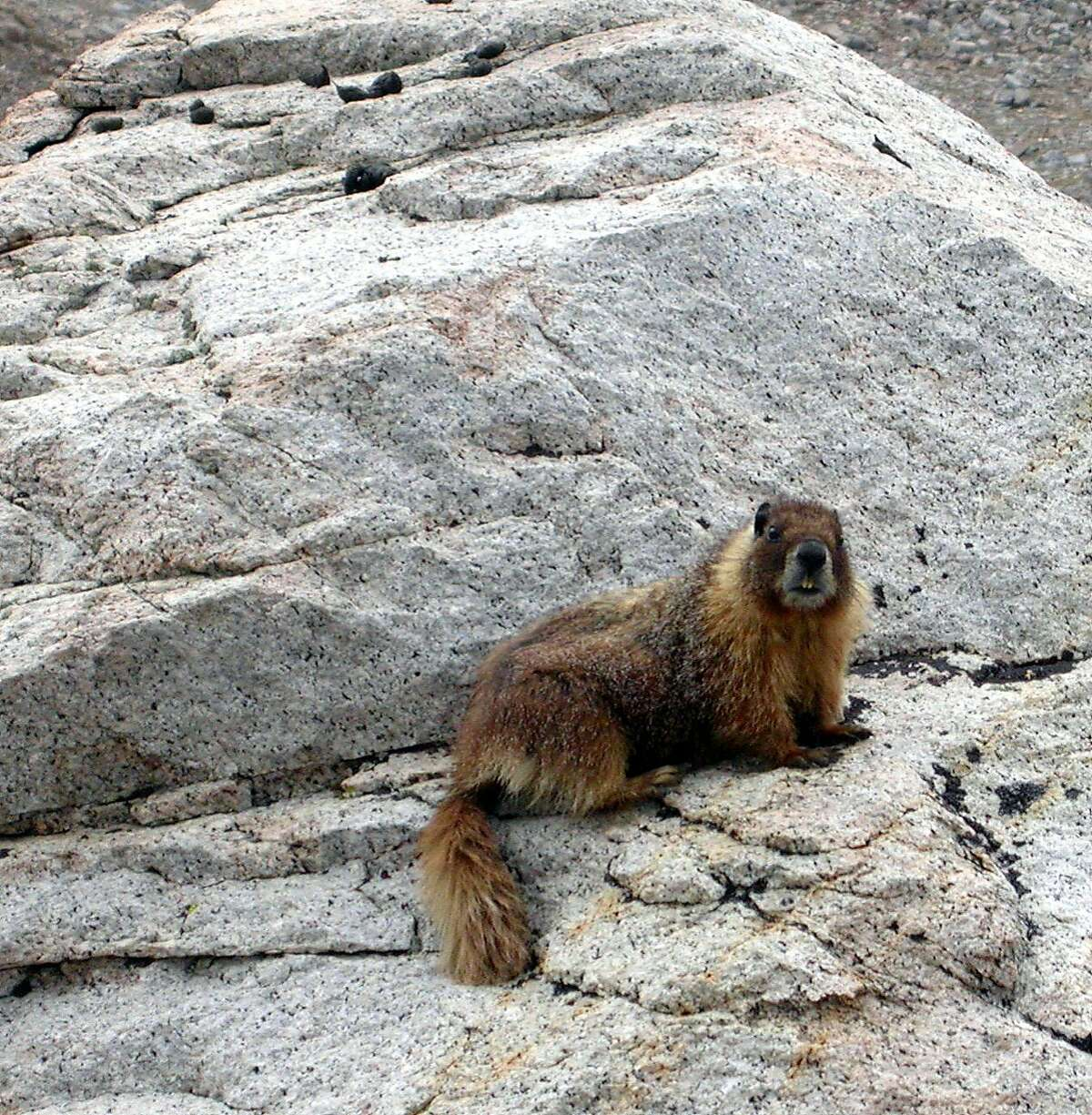 Marmot, which live in the high Sierra above tree line, have already submerged into hibernation near the Sierra crest in Yosemite National Park