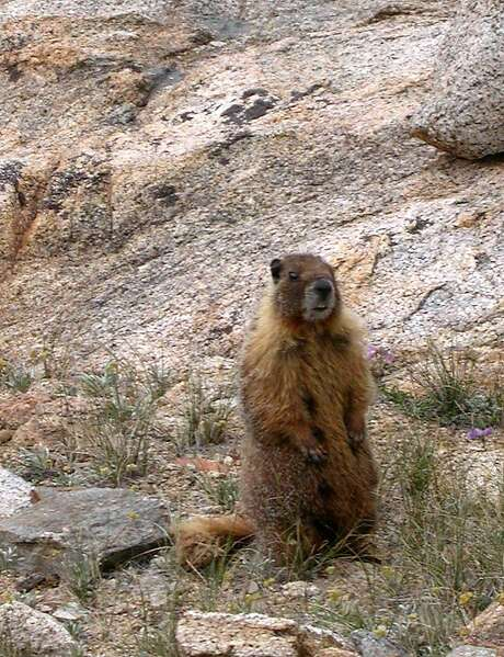 Marmots, which live in the high Sierra above tree line, have already gone into hibernation in Yosemite National Park. Biologists believe they were driven into hibernation early because they sensed impending big snows. Photo: Michael Furniss, Wild Earth Press