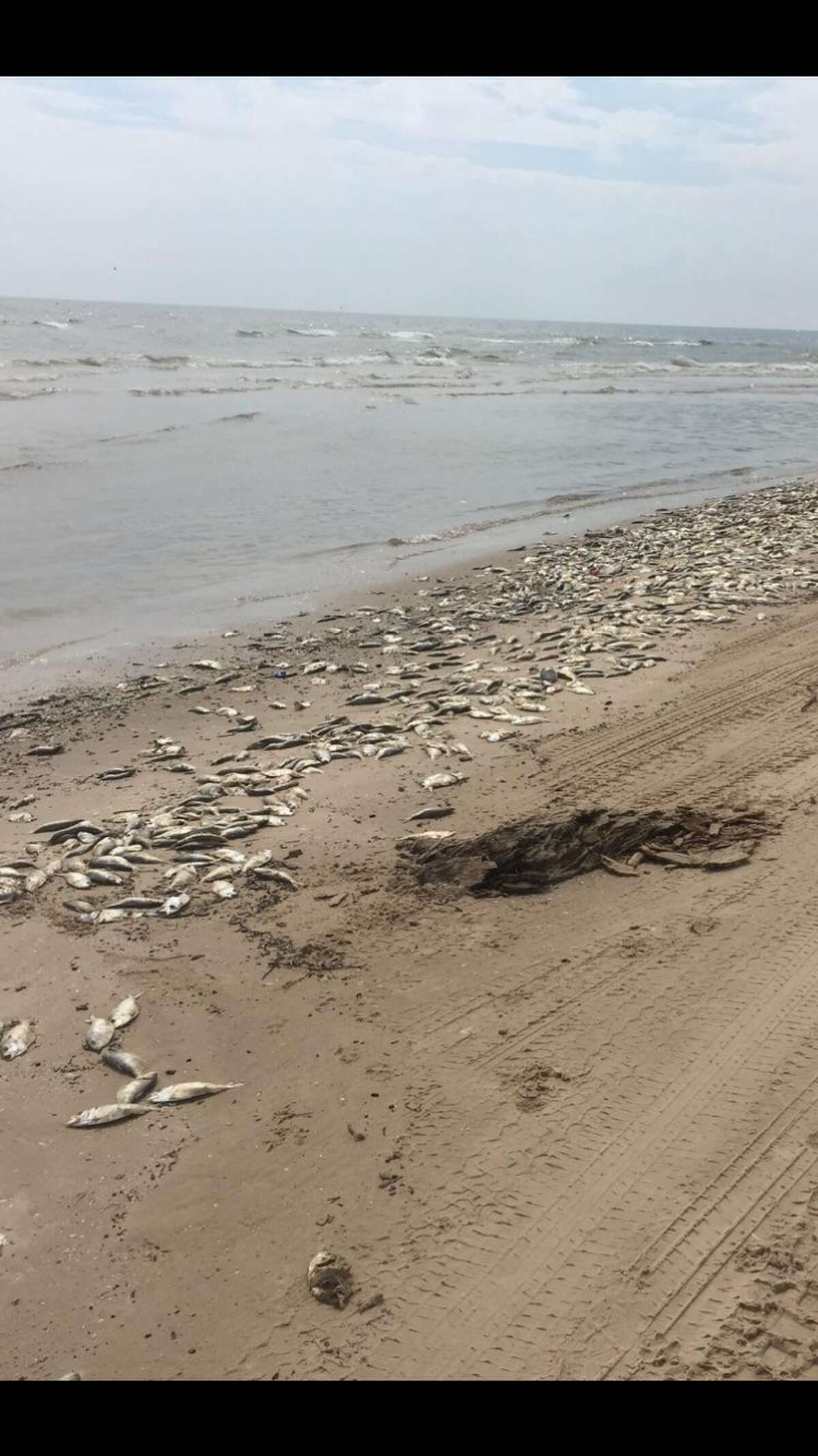 Thousands of fish washed up dead at Bryan Beach in Freeport after a suspected red tide event.