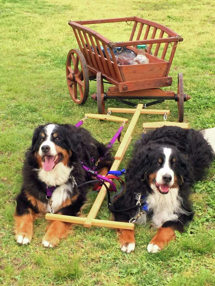 From left to right, Nettie and Charly. Both Bernese Mountain Dogs belonging to Friedli, who is organizing the BernRR picnic/parade at Glenville Firehouse. Photo: Contributed / Contributed Photo / Greenwich Time Contributed