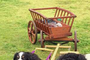 Bernese Mountain Dog picnic, parade set for Greenwich Point - Photo