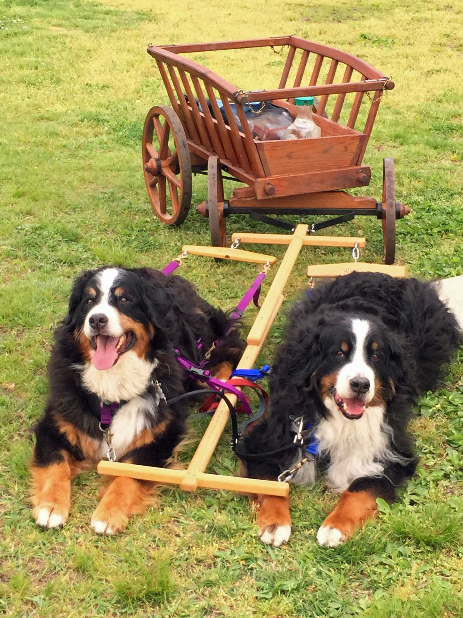 Bernese Mountain Dog Picnic Parade Set For Greenwich Point
