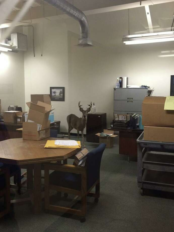 This sneaky buck made its way into an office in San Antonio's medical center on Thursday. According to a post by Texas Parks and Wildlife on Facebook, the buck left the office on its own. Photo: Courtesy, Texas Parks And Wildlife