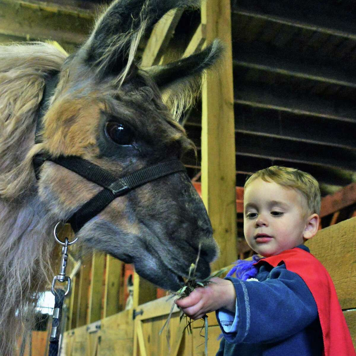 Two-year-old Connor Flynn of Altamont feeds a llama during a Kids Care Preschool field trip to Wunsapana Farm Friday Oct. 9, 2015 in Altamont, NY. (John Carl D'Annibale / Times Union)