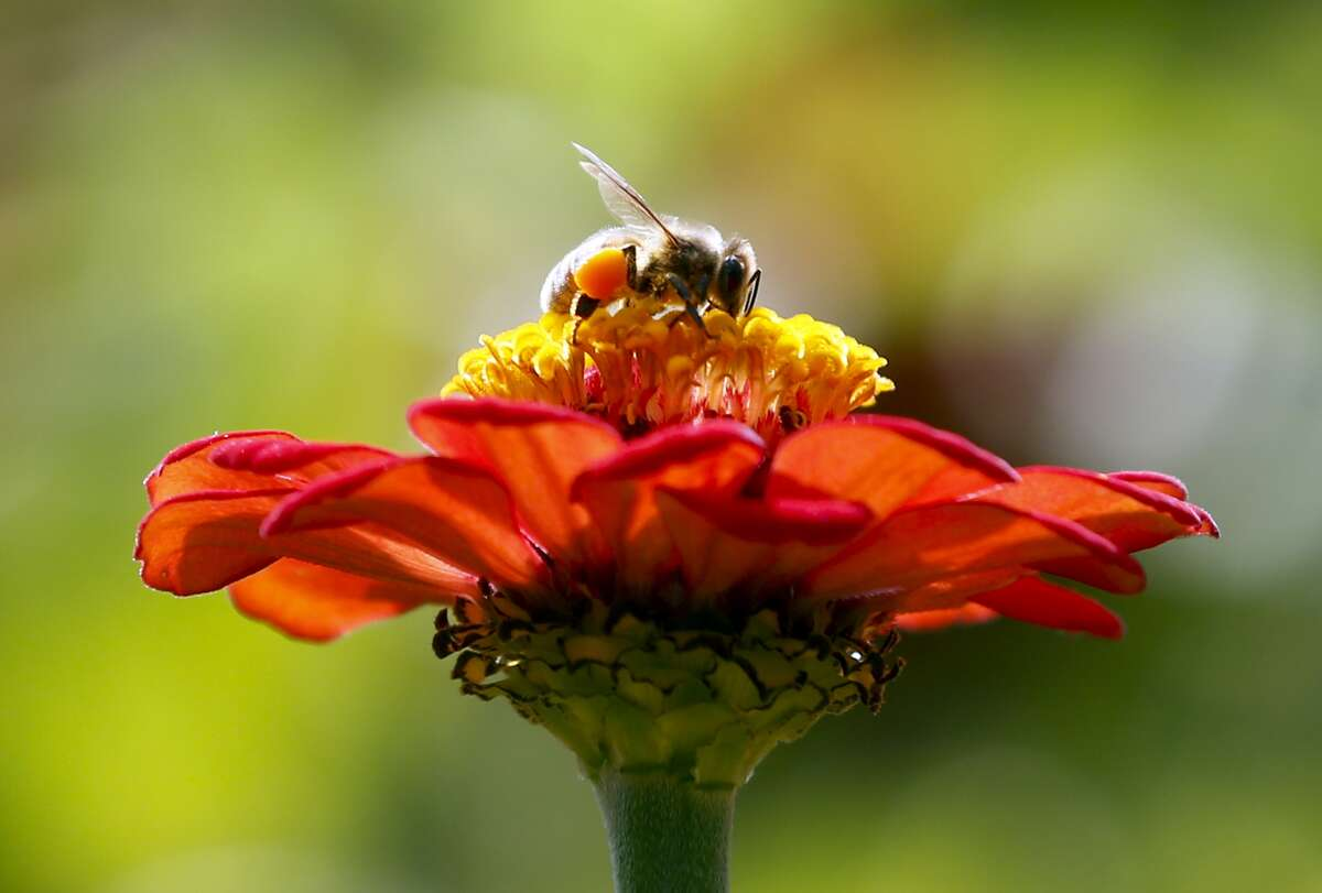 FILE - In this Sept. 1, 2015, file photo, a honeybee works atop gift zinnia in Accord, N.Y. While scientists have documented cases of tiny flies infesting honeybees, causing the bees to lurch and stagger around like zombies before they die, researchers don?'t know the scope of the problem. Now they are getting help in tracking the honeybee-killing parasite from ZomBee Watch, created in 2012 by John Hafernik, a biology professor at San Francisco State University. (AP Photo/Mike Groll, File) ORG XMIT: NYMG201