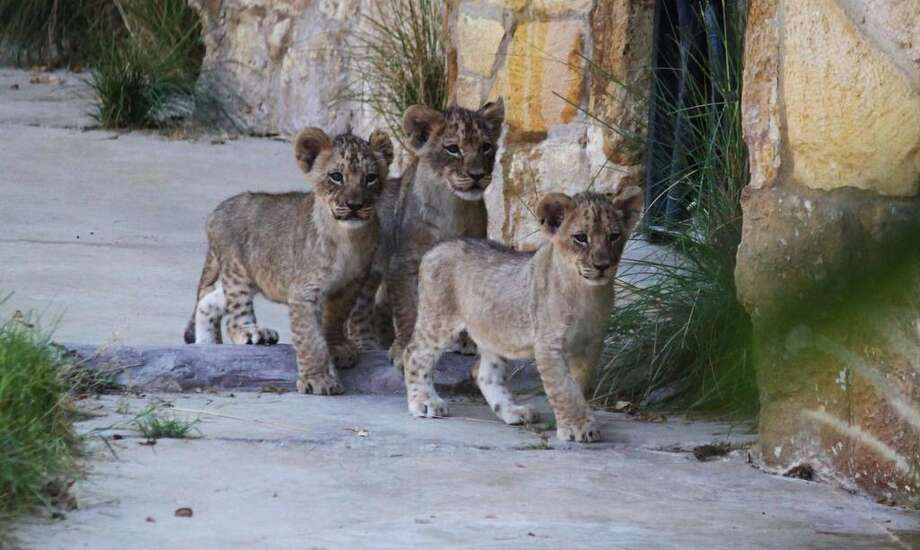 The San Antonio Zoo's new lion cubs greet the public for the first time Saturday, Oct. 10, 2015. Photo: Courtesy Gerald R. Vimont