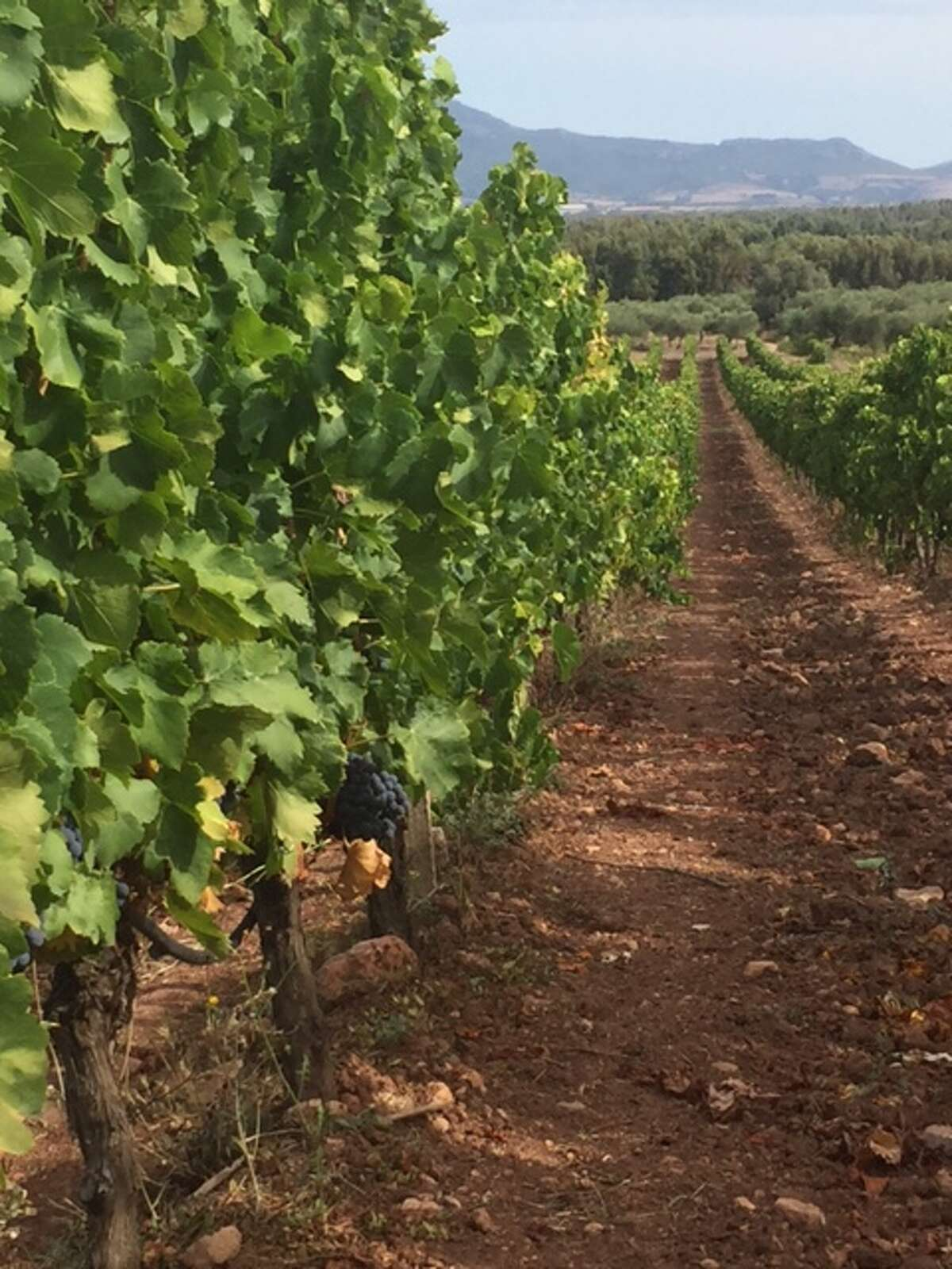 Troy importer Tony O'Haire visited vineyards when he traveled to Sardinia in September.