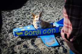 A Corgi posed in a plane for his parents at Corgicon at Ocean Beach in San Francisco, California on Saturday, October 10, 2015.