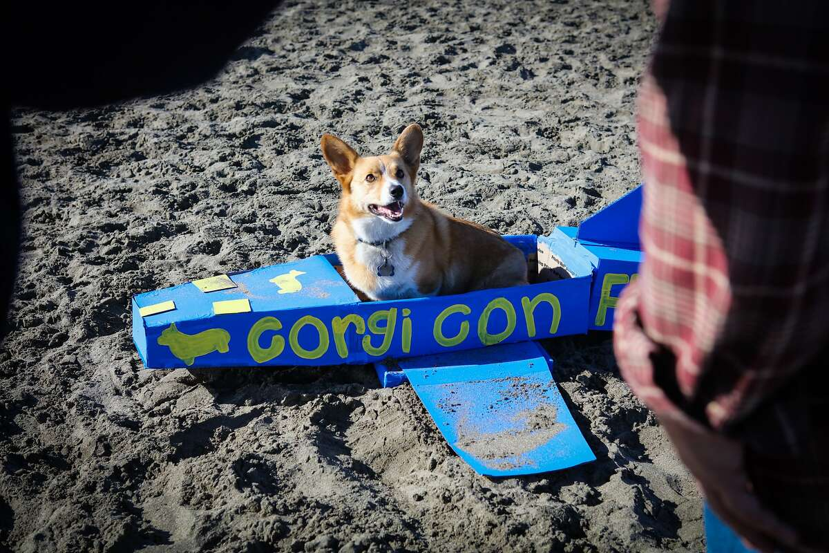 A Corgi posed in a plane for his parents at Corgi Con at Ocean Beach in San Francisco, California on Saturday, October 10, 2015.