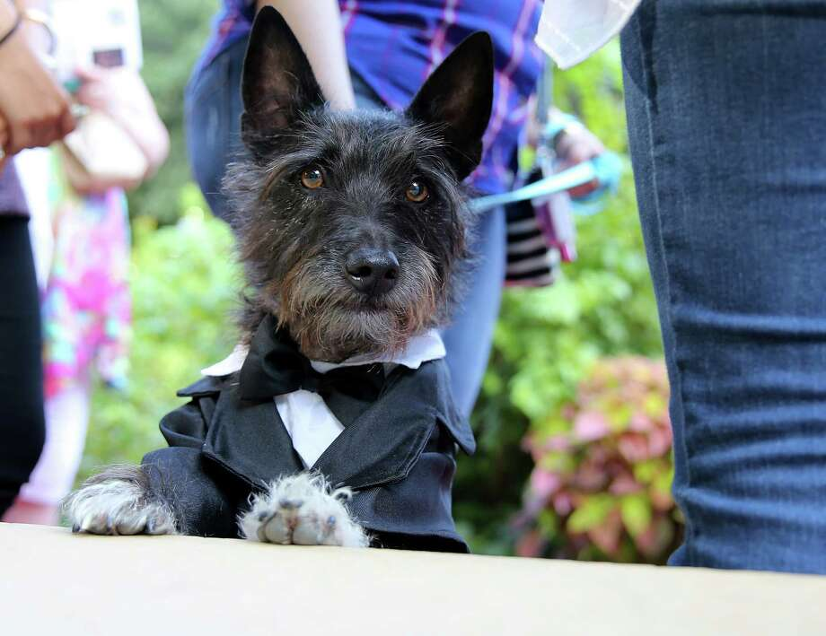 Although not in the show, Charlie, a Scottish mix, 3, was dressed up for the occasion by his owner, Angie Alvarez. Bill Klein, star of TLC's The Little Couple and owner of Rocky & Maggie's Pet Boutique & Salon, and his family will host the inaugural Glamour Dogs: Rip the Runway dog clothing fashion show on  Saturday, Oct. 10, 2015, in Houston. The show showcased all the latest trends, including the practical, fashionable, and hilarious. Photo: Elizabeth Conley, Houston Chronicle / © 2015 Houston Chronicle