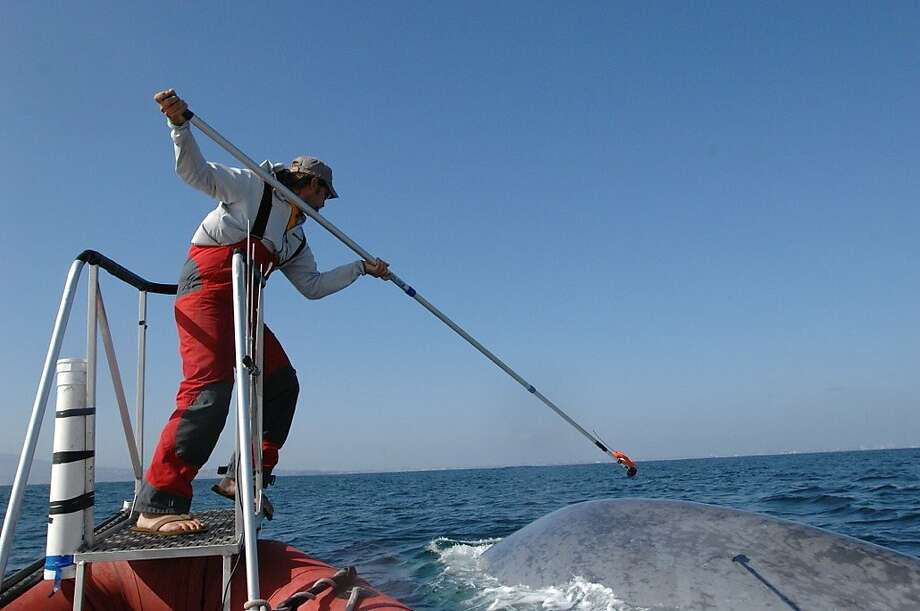Marine ecologist Ari Fried laender uses a 25-foot pole to try to attach a suction cup with a tracking tag to the back of a giant blue whale. Photo: Jeremy Goldbogen, NMFS Permit