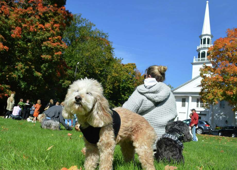 """Griffey Britt"" of Westport was one of dozens of dogs at Saugatuck Congregational Church's Blessing of the Animals on a sunny Sunday. Photo: Jarret Liotta / For Hearst Connecticut Media / Westport News"