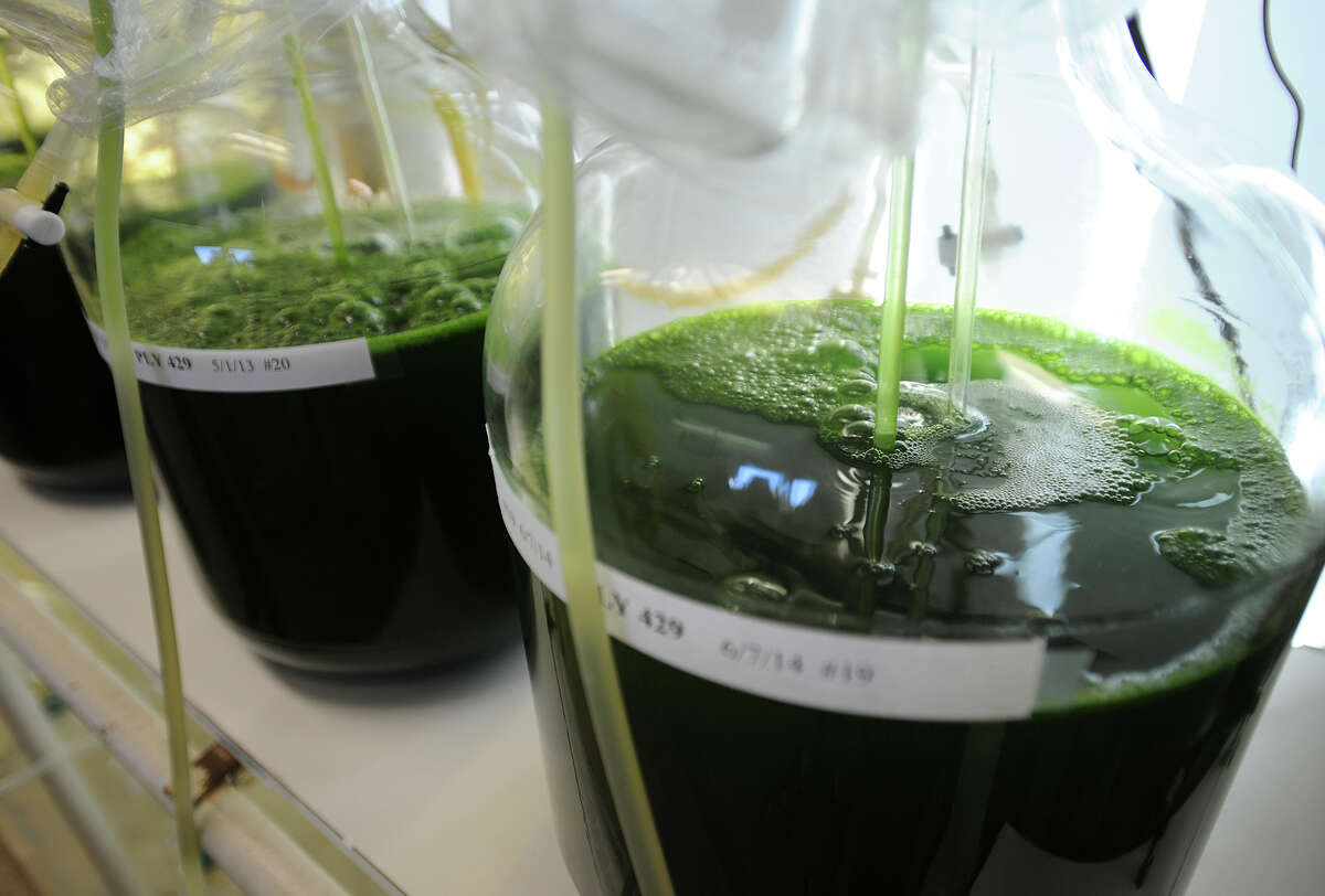 Algae being grown as food for shellfish at NOAA's marine research laboratory in Miford, Conn. on Tuesday, June 30, 2015. The Milford Laboratory will stage a free open house on Saturday, Oct. 17, from 9 a.m to 1 p.m.