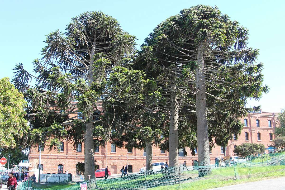 A man is suing the U.S government, the National Park Service and the San Francisco Maritime National Historical Park after a 16-pound pine cone fell from a tree and crushed his skull in October 2014.