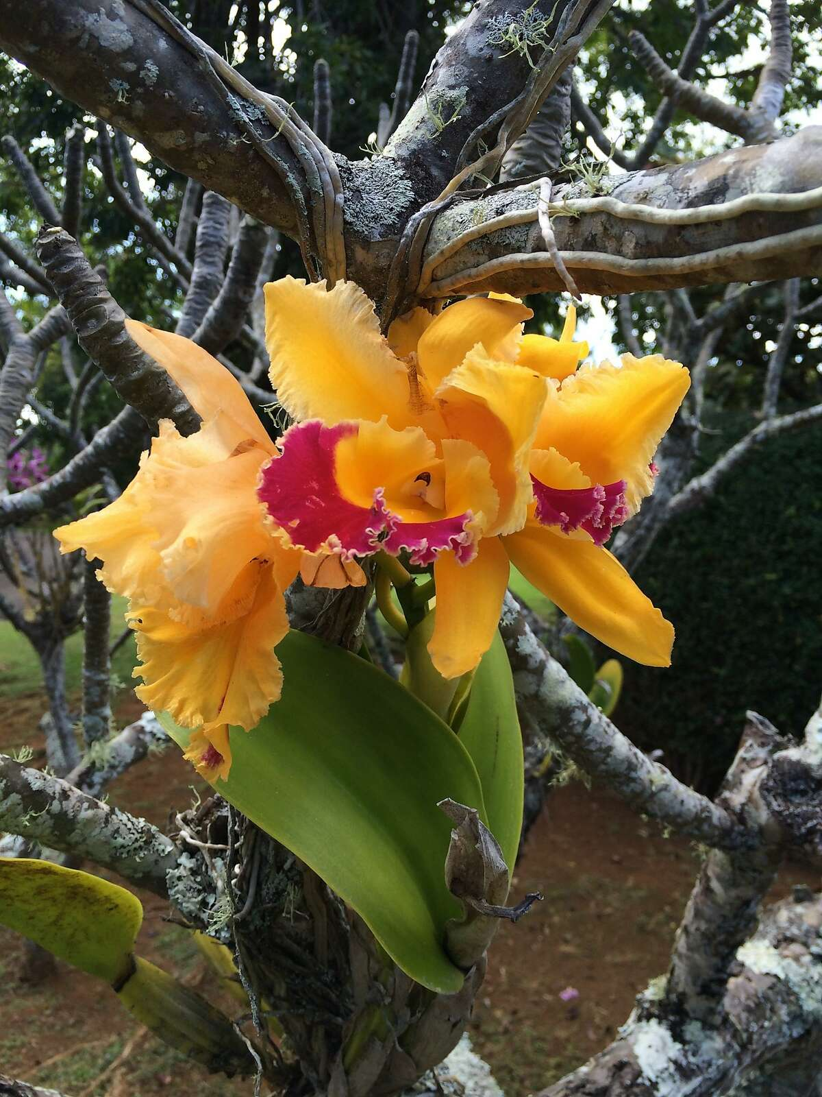 An orchid grows in a tree at Na Aina Ka