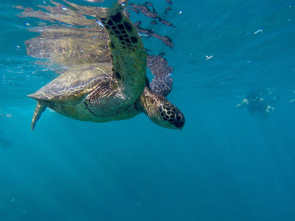 Turtle: A Hawaiian honu, or green sea turtle, swims within view of a snorkeler near the Andaz Maui, which lends guests GoPro video cameras to take high-definition images like these.